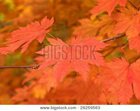 weiche rotes Ahornblatt auf dem Zweig