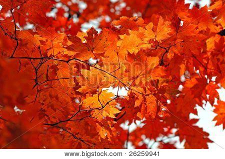 weiche Red Maple leafs Hintergrund
