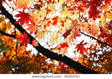 fallen Sie Wald mit Sonnenlicht durch das Blätterwerk Ahorn