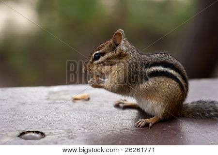Chipmunk Sitting Eating On Picinic Table
