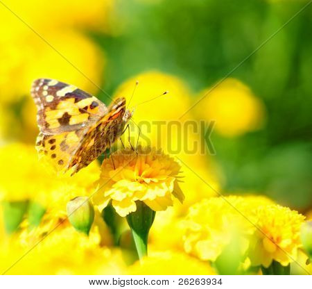 monarch butterfly on the yellow marigold in highkey