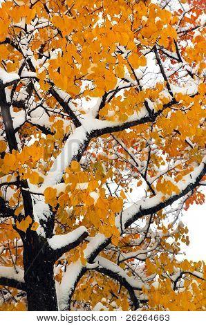 súbita queda de neve na floresta de carvalhos de queda