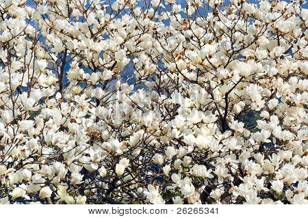 white magnolia blossoms floral natural background of spring Jeju island of Korea