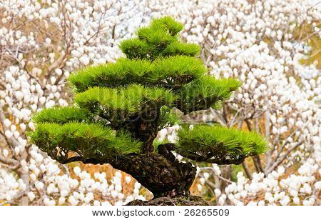 bonsai tree on white magnolia background at Hallim Park of Jeju island Korea