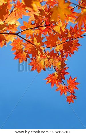 red yellow fall maple leafs over the blue sky