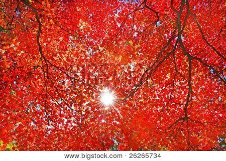 durch die roten Ahorn Laub Licht der Sonne