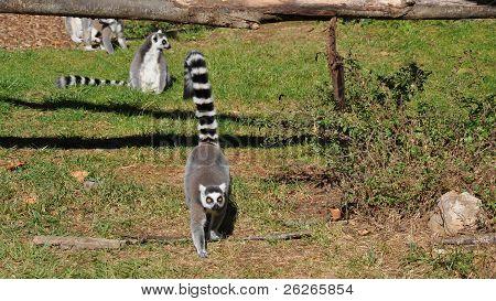Serious lemur