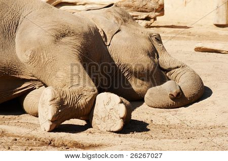 Sleeping elephant