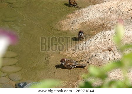 Two sparrows bathe in the water of a pond