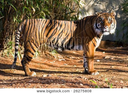 Portrait of a big young female Sumatran Tiger