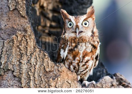 "Eastern screech owls are found in two color ""phases"": red and gray. They are small tufted owls that are often mistaken for baby great horned owls."
