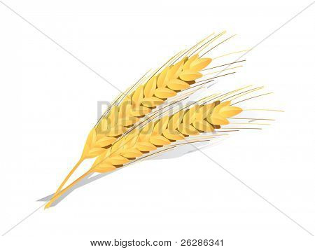 ears of wheat detailed vector icon