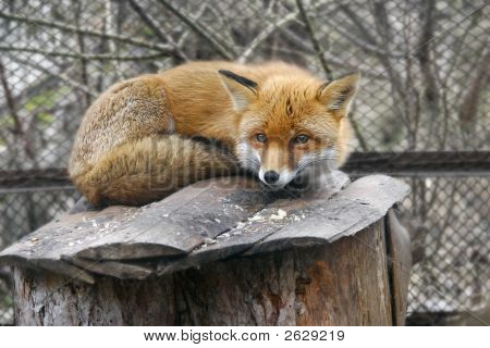 Red Fox In Zoo