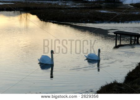 Two Swans On Lake In The Eveni