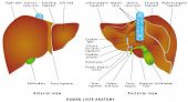 Liver Anatomy. Realistic Anatomical Model Of Healthy Human Liver With Gallbladder On A White Backgro poster