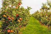 Fruit Trees With Harvest Ripe Red Apples In A Modern Dutch Apple Orchard With Espaliers At The End O poster