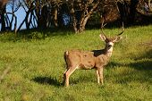 picture of blacktail  - Calofornian Colombian Blacktail buck - JPG