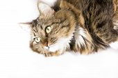 whiskered and fluffy cat poster