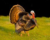 thanksgiving turkey strutting his stuff at sunset creating an iridescent glow to his feathers