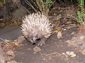 pic of ant-eater  - echidna or spiney ant eater  - JPG