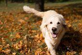 Portrait Of A Beautiful Golden Retriever In Fallen Autumn Foliage poster