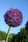Allium against the blue sky