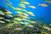 School of yellowfin goatfish (Mulloidichthys vanicolensis) underwater. Andaman sea poster