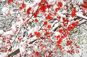 picture of maple tree  - red maple fallen leaves tree snow covered - JPG