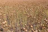 The The Ripening Flax In A Field And Ready For Harvesting. In A Field And Ready For Harvesting. poster