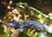 image of crocodilian  - An American Alligator swims around in the Florida Everglades National Park - JPG