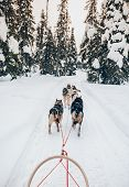 Riding Husky Dogs Sledge In Snow Winter Forest In Finland, Lapland poster