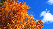 Maple Golden Autumn Maple Leaves In Autumn Beautiful Nature Blue Sky Clouds poster