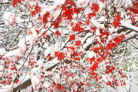 image of maple tree  - red maple fallen leaves tree snow covered - JPG
