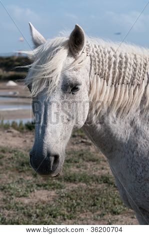 White Horse Portrait And Salt Marsh