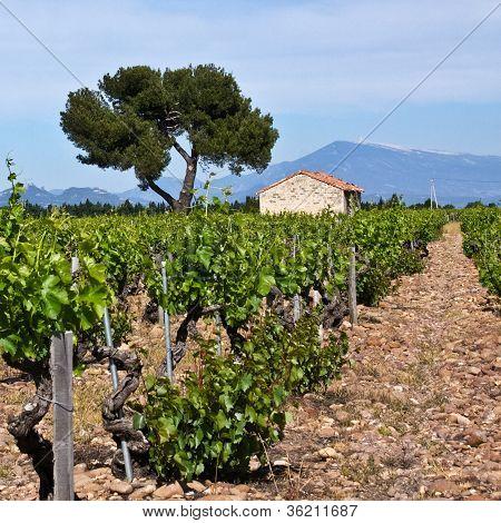 Ch�teauneuf-du-pape's Vineyards