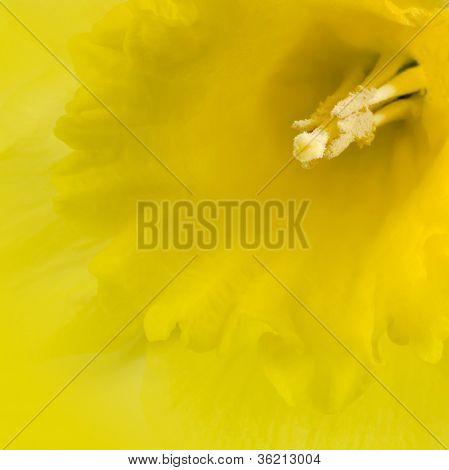 Yellow Daffodil Closeup