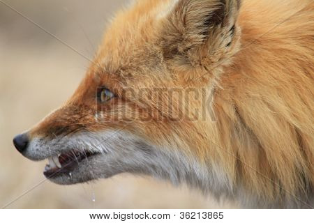 Portrait  Irritation Fox