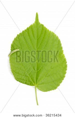 Hazel leaf (Corylus Avellana) on white