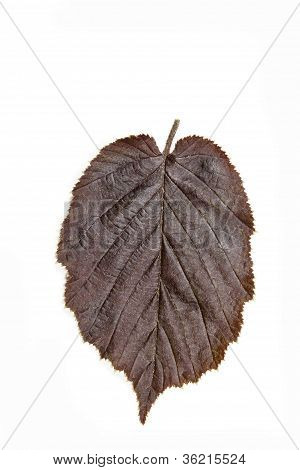 Brown hazel leaf (Corylus maxima)