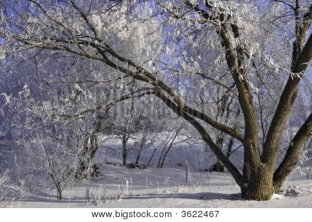 Winter Frosty Trees