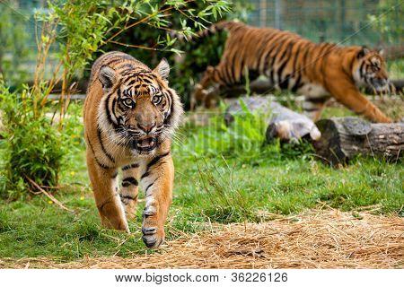 Two Young Sumatran Tigers Running And Playing