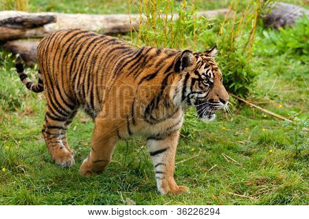 Side Portrait Of Young Sumatran Tiger