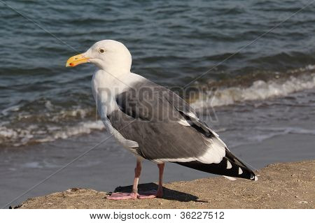 Seagull in San Francisco