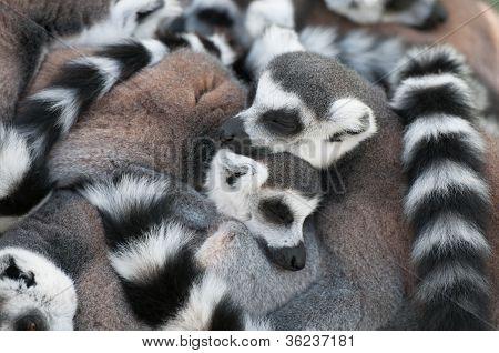 Love Of Lemurs