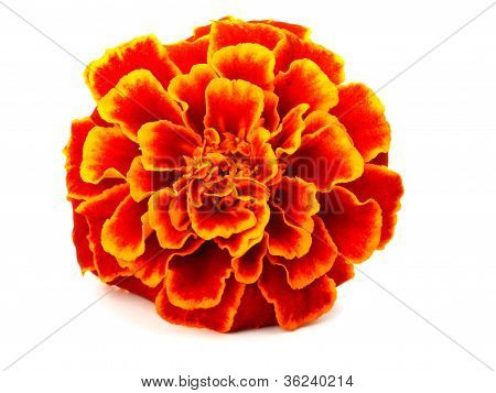 Red Marigold (tagetes)