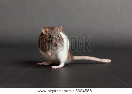 Rat On A Black Background