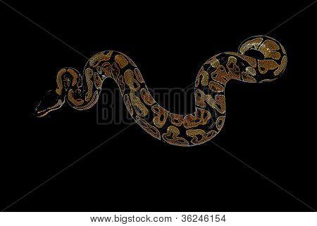 Ball Python: Python regius