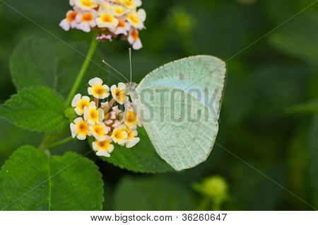 Butterfly Common Emigrant Catopsilia Piomona Closeup Copy Space