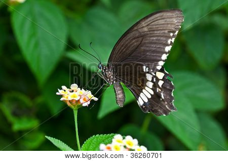 Butterfly Common Mormon Papilio Polytes Flower Closeup Copy Space