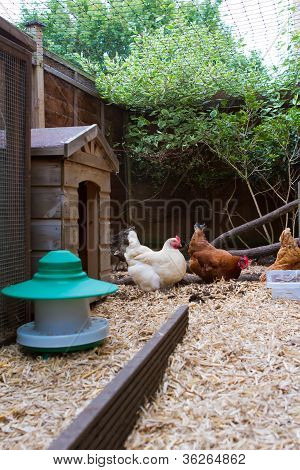 Pet Chickens In Their Run In An English Garden Next To Their Coop